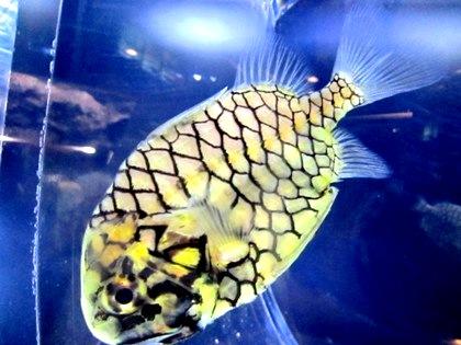 マツカサウオ パイナップルフィッシュ Pineapple Fish