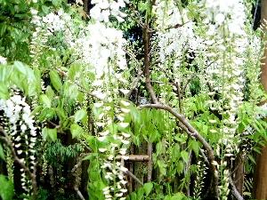 春日大社神苑の藤の花