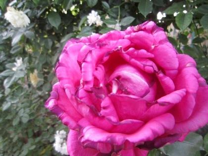 開花の英語翻訳 バラの花