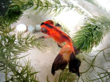 蝶尾 金魚