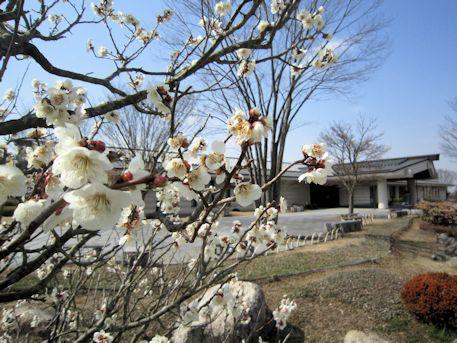 万葉庭園の梅の花
