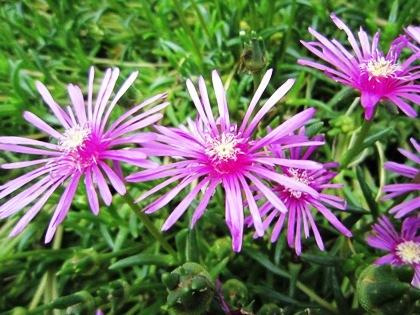 松葉菊 サボテン菊