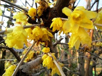 鼻腔によみがえる蝋梅の花