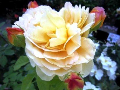 黄色いバラの花言葉 薔薇 ばら